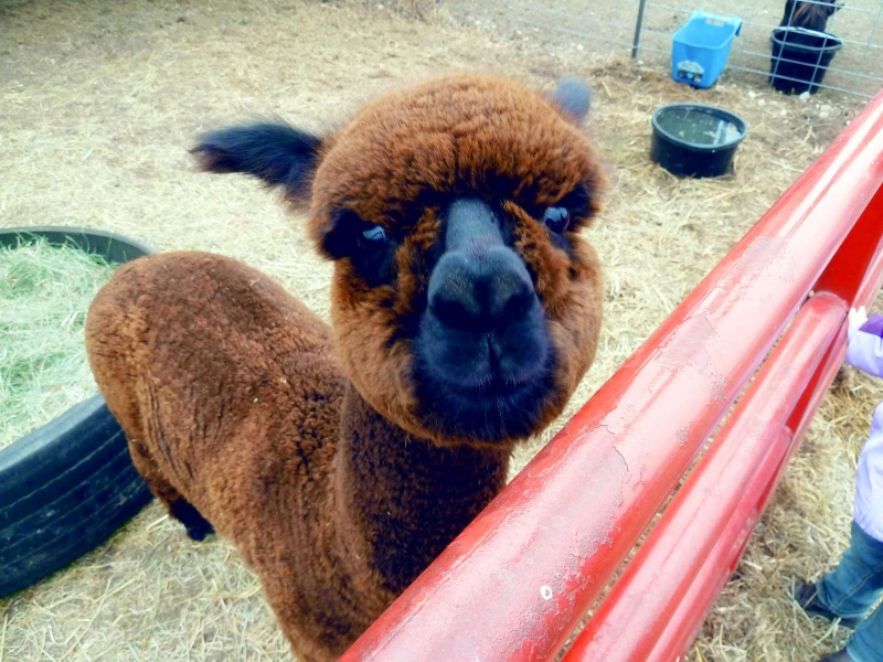 Alpaca - ADORABLE!